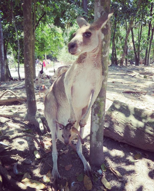 kangaroo babies