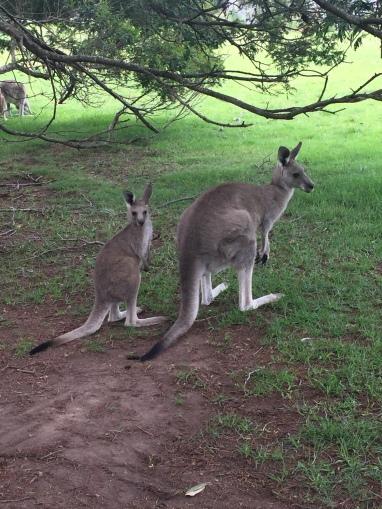 kangarooss.JPG